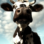 One of a series of bovine portraits